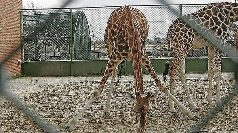 Руководство датского зоопарка не будет убивать жирафа Мариуса