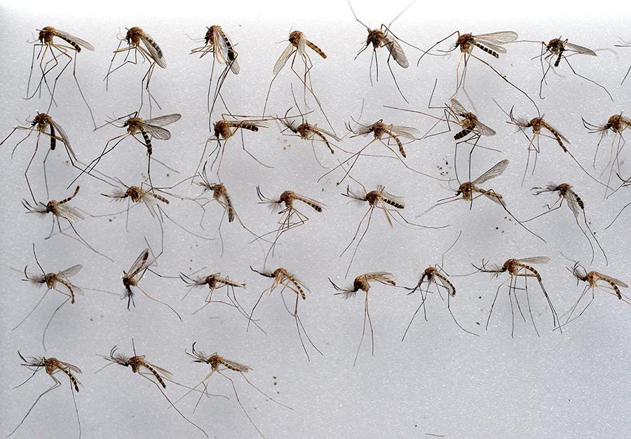 Голландские ученые: Комары не боятся ультразвука