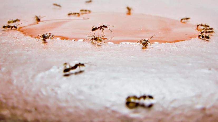Нашествие «сумасшедших» муравьев в США: они портят электроприборы и их не берут химикаты