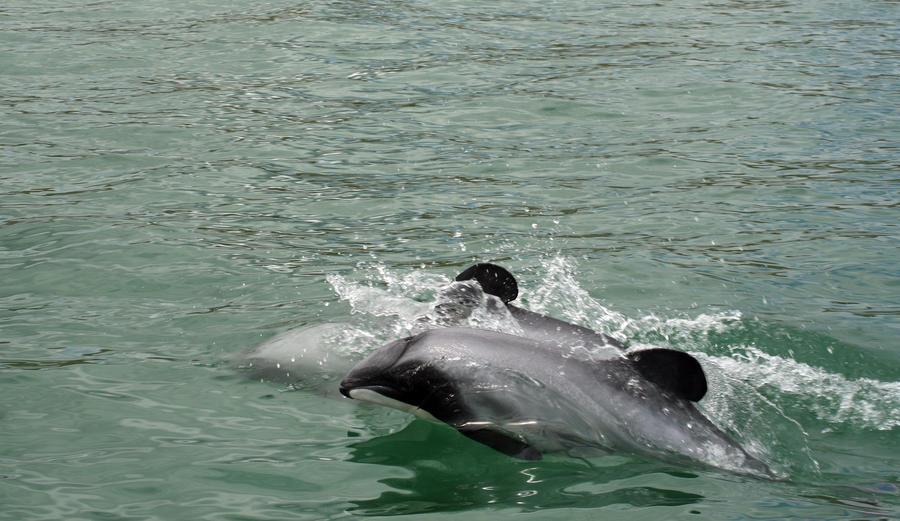 Учёные призвали спасать «морских хоббитов»