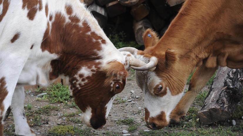 Работники фермы в США издевались над коровами