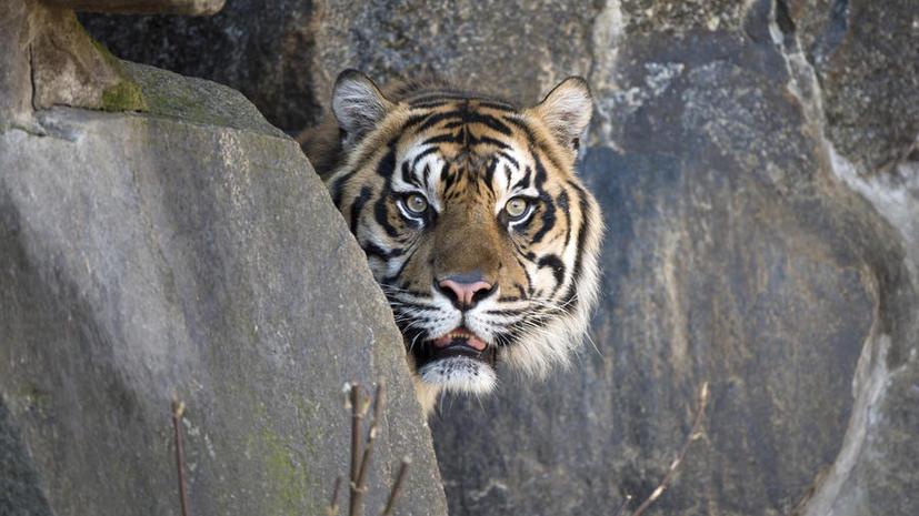 В Китае из убийства тигров сделали шоу для бизнесменов