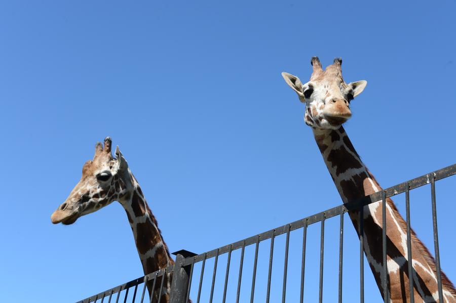 Датские жирафы под прицелом: ещё одно животное могут убить в зоопарке в ближайшее время