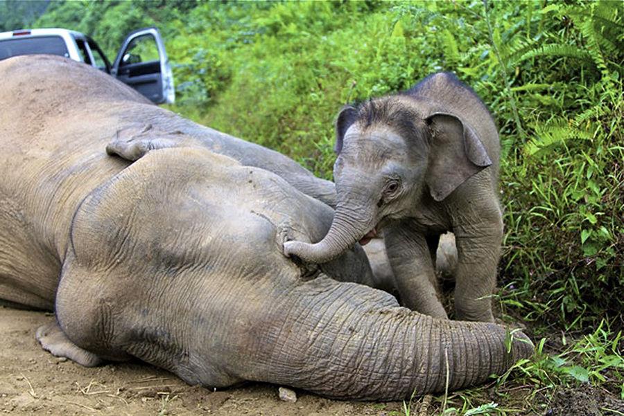 В Малайзии неизвестные травят карликовых слонов