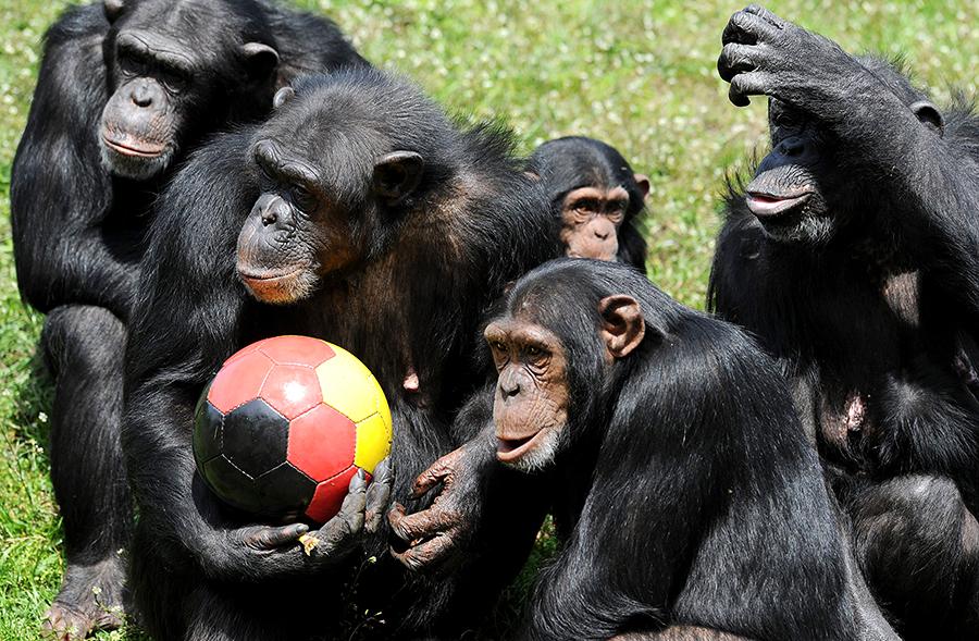 Ученые: у шимпанзе есть чувство справедливости