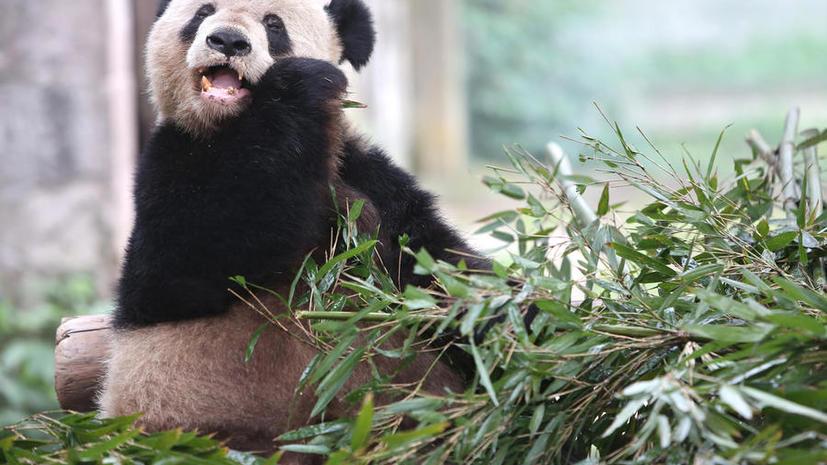 Азиатские СМИ на 1 апреля сообщили о предстоящей эвтаназии для панды из зоопарка
