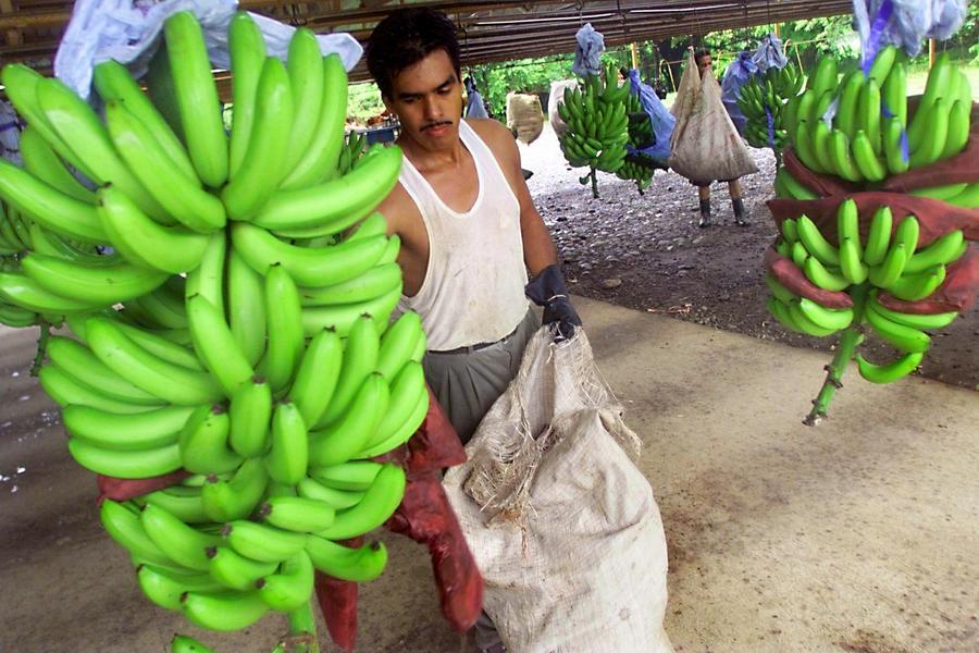 Бананы могут подорожать из-за грибка, который губит их урожай