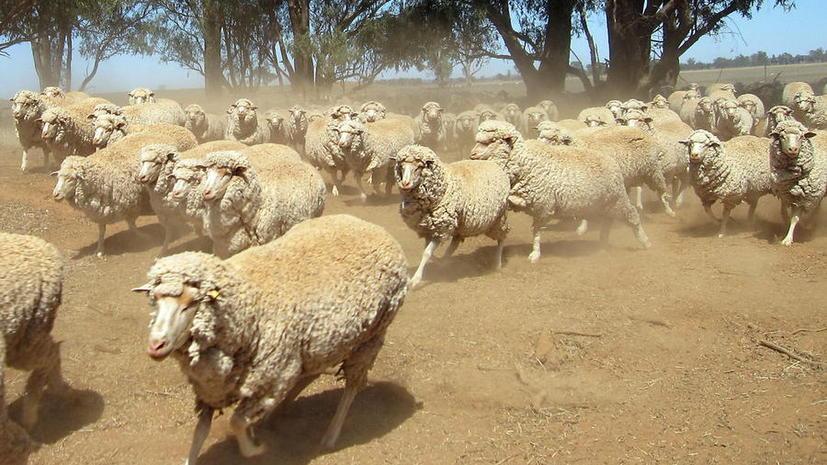 В Австралии ядовитое растение стало причиной массового суицида овец