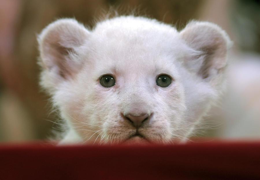 Полиция Таиланда изъяла у миллионера 14 белых львов