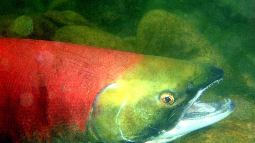 Супермаркеты США обещают не продавать лососей-мутантов