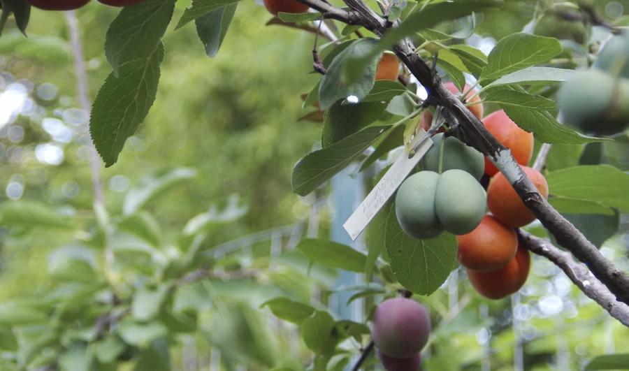 Американский профессор создал дерево, на котором растёт 40 видов фруктов