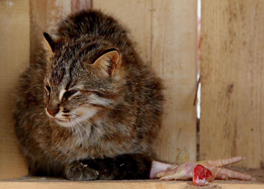 Румынский вор испугался домашнего кота и вызвал полицию