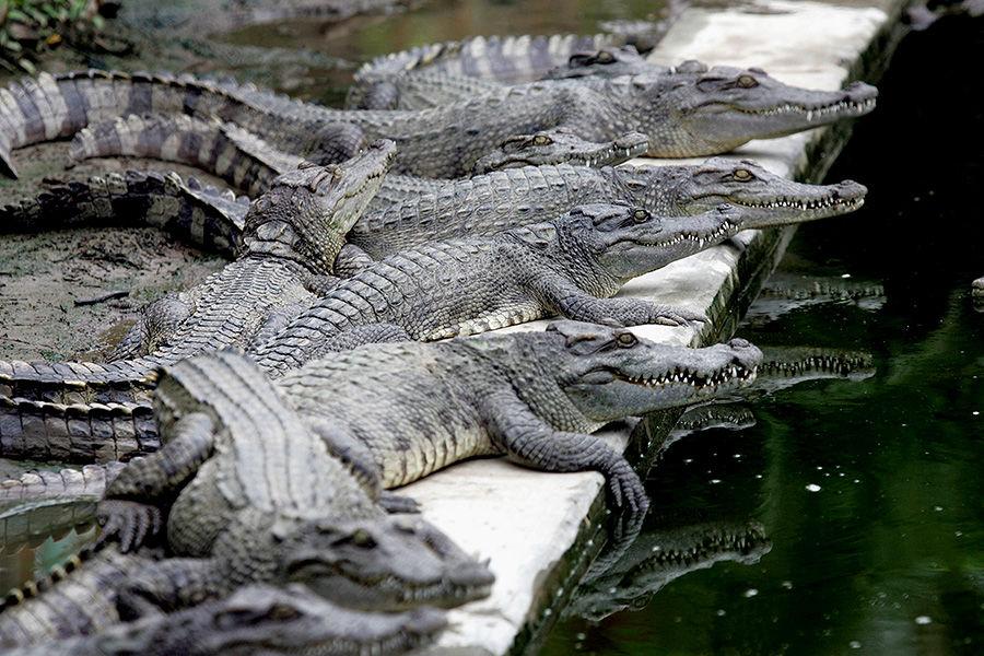 Тысячи крокодилов сбежали с фермы в Южной Африке