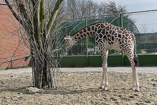 Рамзан Кадыров готов принять жирафа Мариуса в Чечне