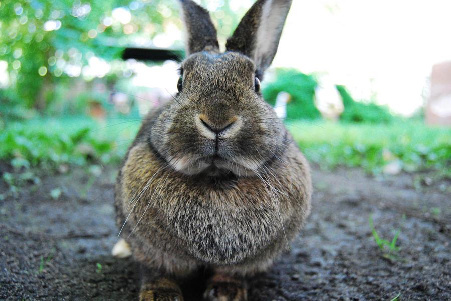 The Mirror: Гитлеровцы держали при концлагерях фермы по разведению гигантских кроликов