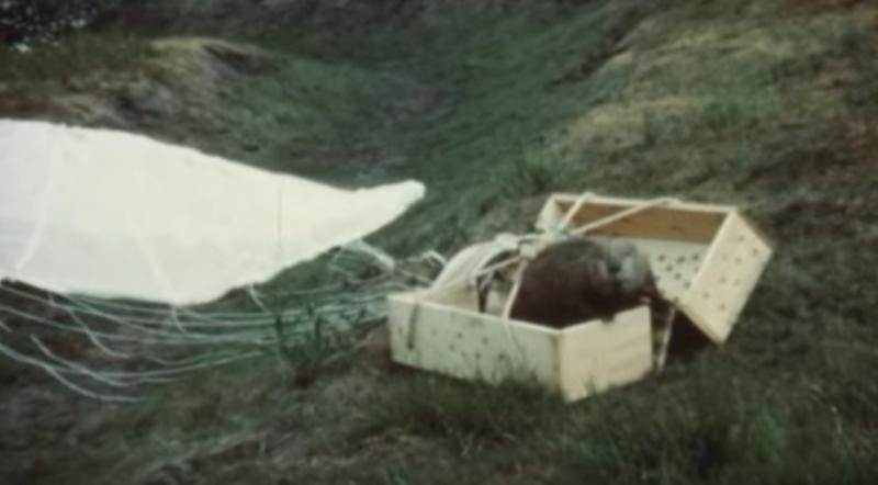 В Айдахо с перенаселением бобров боролись, перебрасывая зверей с парашютом в дальние районы