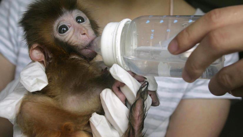 Учёные впервые искусственно изменили гены обезьян