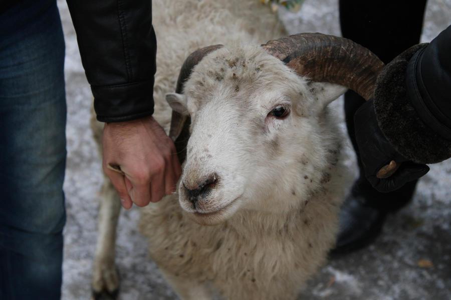 Дания запретила кошерный забой скота