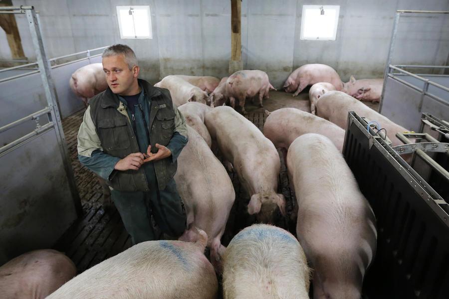 СМИ: Множество французских свиноферм могут разориться из-за санкций против РФ