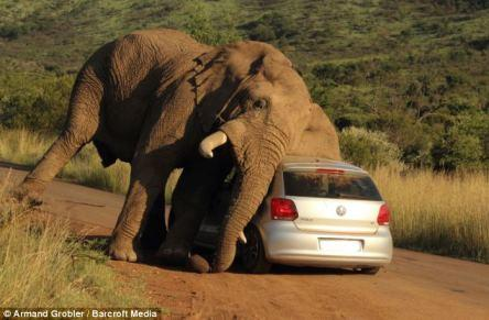 Картинки по запросу африканский слон