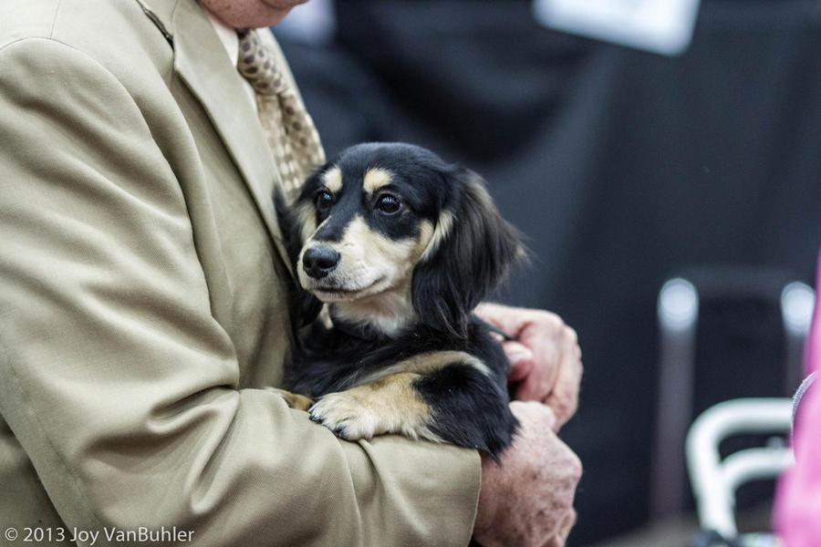Обанкротившийся Детройт впервые за столетие отменил знаменитую выставку собак