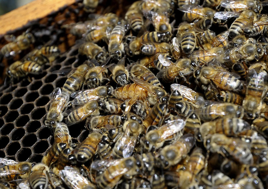 Исследование: Пестициды снижают трудоспособность пчёл и вынуждают улей голодать