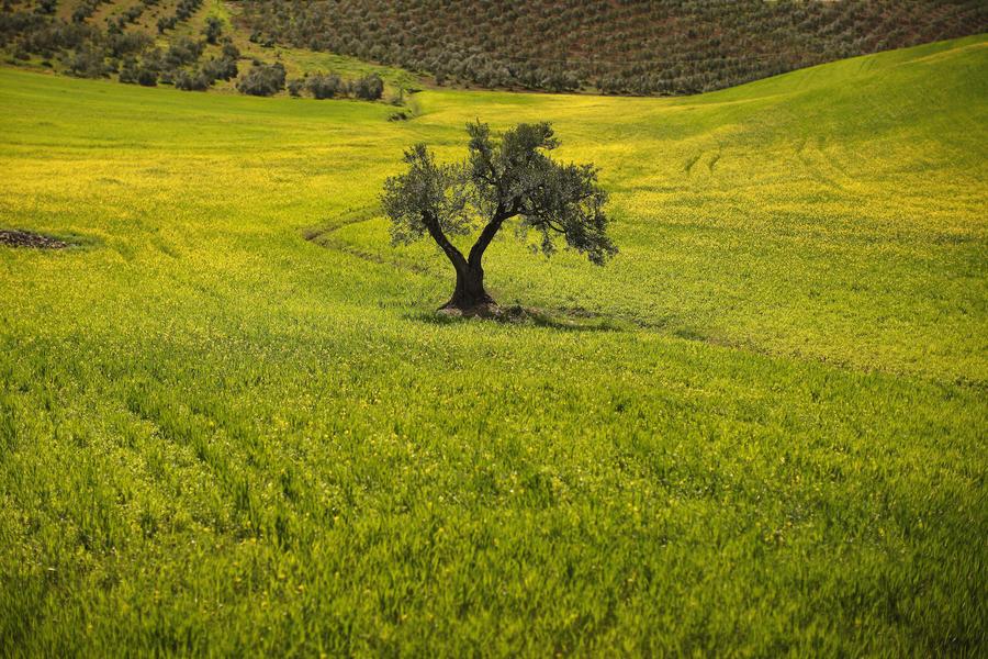 «Оливковая Эбола» грозит выкосить плантации Италии и Испании