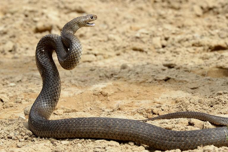 МИД Британии потратил 10 тысяч фунтов на реставрацию чучела змеи