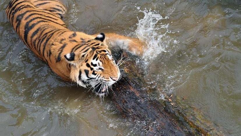 Редкие хищники Приморья начали уничтожать друг друга из-за голода