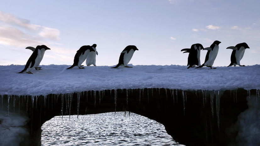 Пингвины Адели оказались в плену айсберга