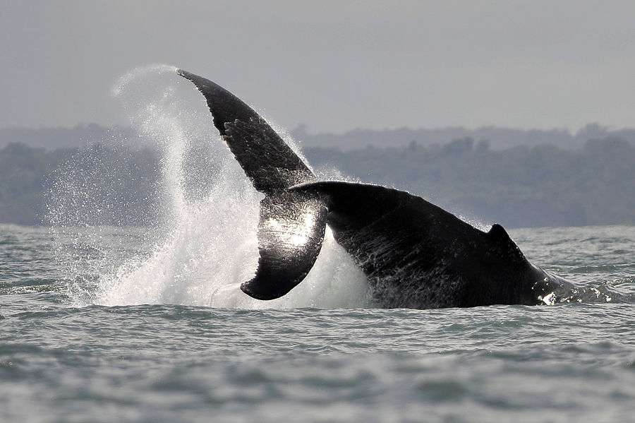 Французы готовы заплатить €50 тыс. за рвотные массы кита