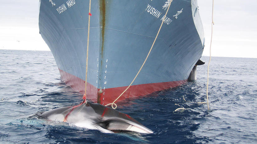 Япония предстанет перед Международным судом по делу об охоте на китов