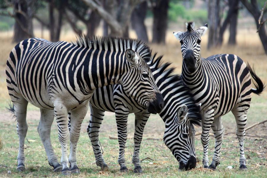 Ученые: полоски нужны зебре для терморегуляции