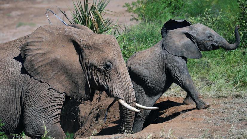 Африканские браконьеры пообещали устроить резню слонов