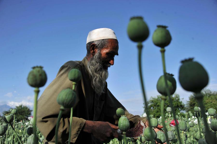ООН: Число земель с плантациями опийного мака достигло рекордного значения