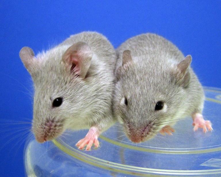 Дрессированные мыши будут искать взрывчатку в аэропортах Израиля