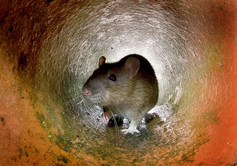 В ЮАР начали выдавать мобильные телефоны в обмен на крыс