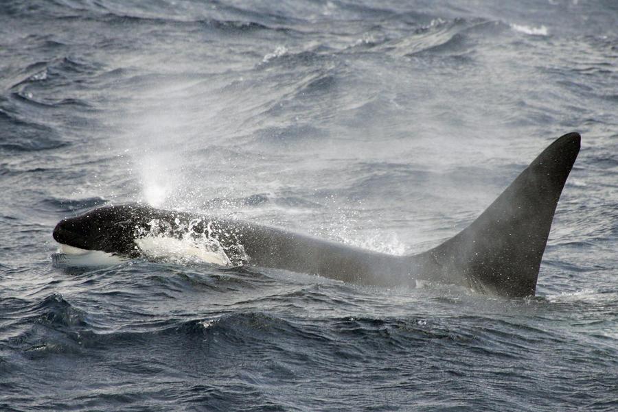 У берегов Новой Зеландии найден невиданный кит-убийца