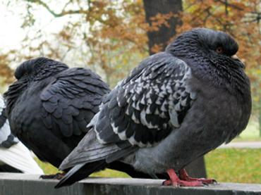 Спецагенты МИ-5: голуби-«беспилотники»