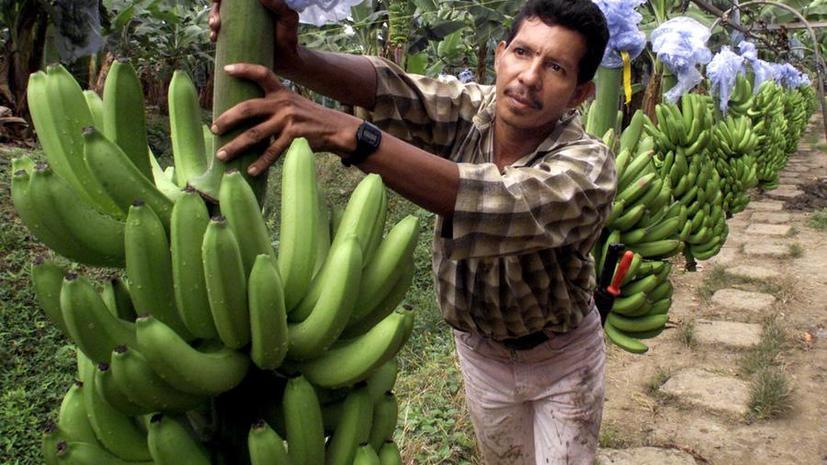 Учёные: Быстро распространяющийся грибок может уничтожить мировой урожай бананов