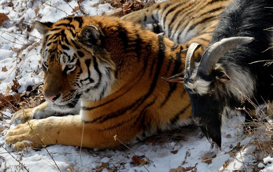 Тигр Амур и козёл Тимур привлекают в Приморье туристов со всего света