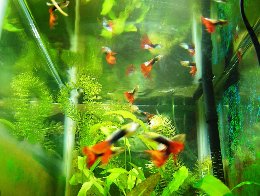 Рыбки-гуппи намеренно обзаводятся уродливыми друзьями