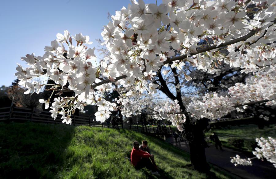 В Японии зацвела сакура из космоса