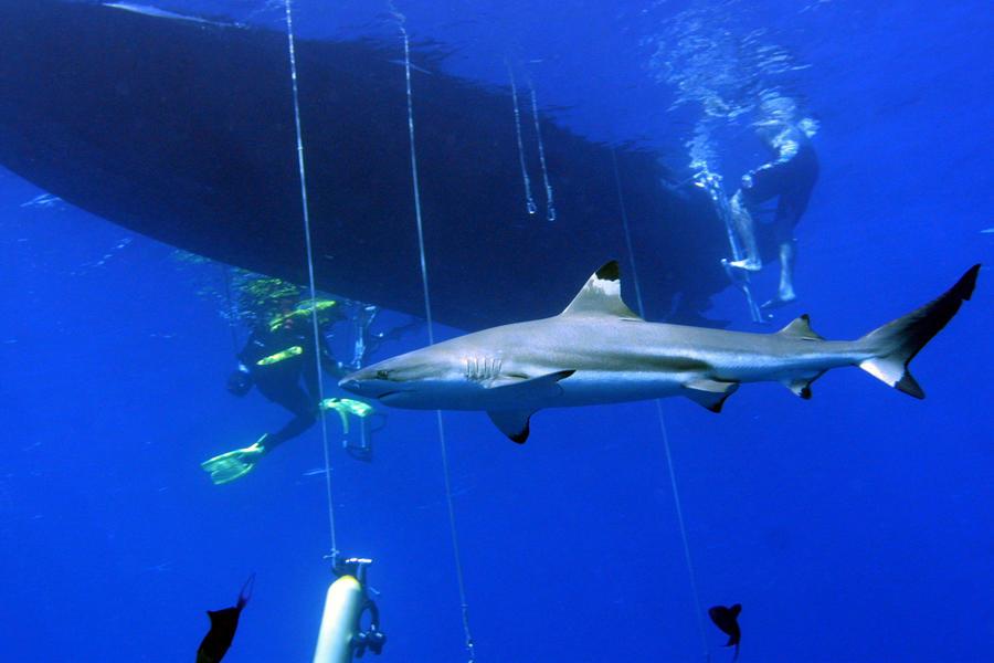 Учёные: Акулы более способны к обучению, чем кошки