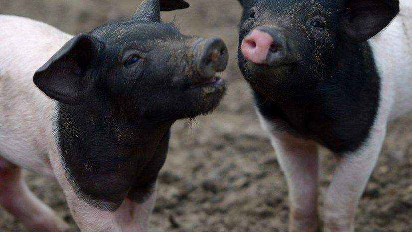 Жители Нью-Йорка борются за право иметь в доме свинью