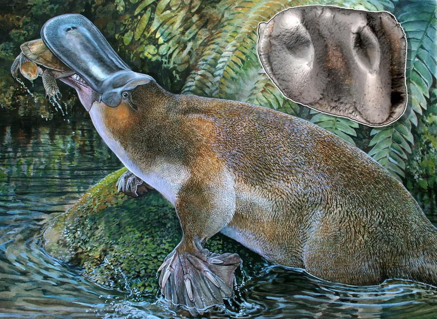 Палеонтологи обнаружили останки гигантского зубастого утконоса