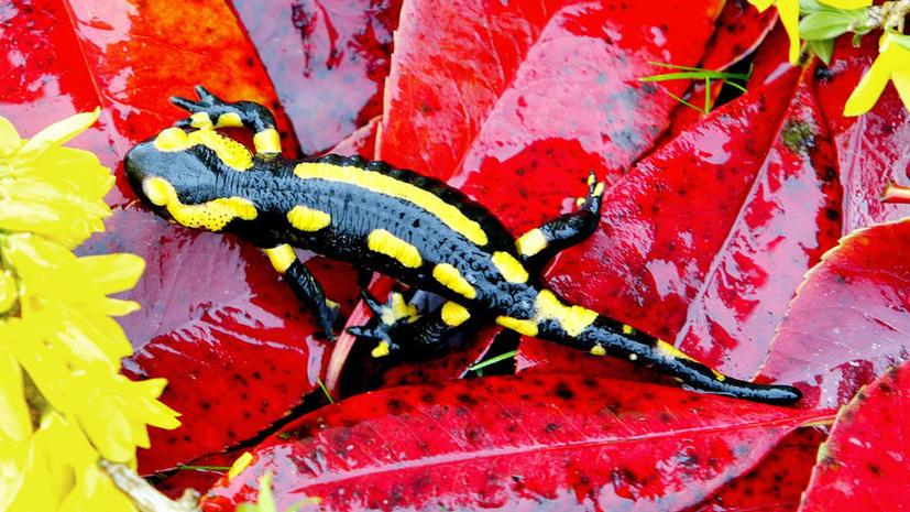 Изучение саламандр поможет медикам восстанавливать утерянные конечности у людей