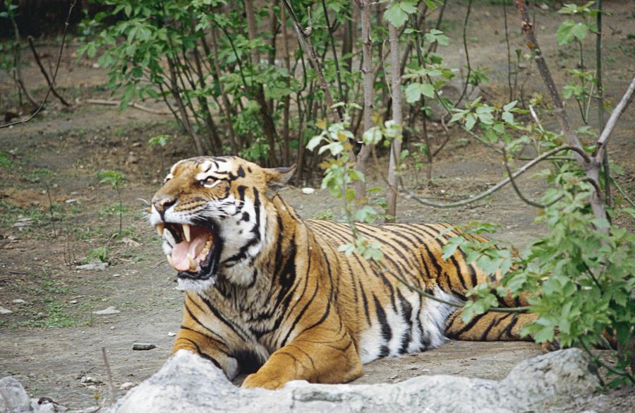 В китайские леса запустили оленей, чтобы сохранить популяцию амурских тигров