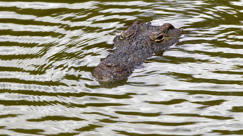 Ученые продлили жизнь крокодилу с помощью протеза хвоста