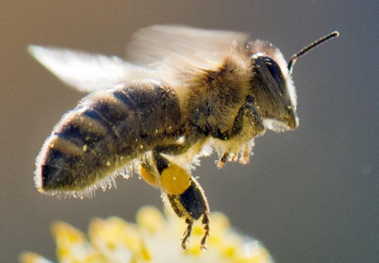 Хорватские учёные вывели пчёл-сапёров